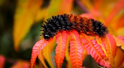 Autumn Caterpillar