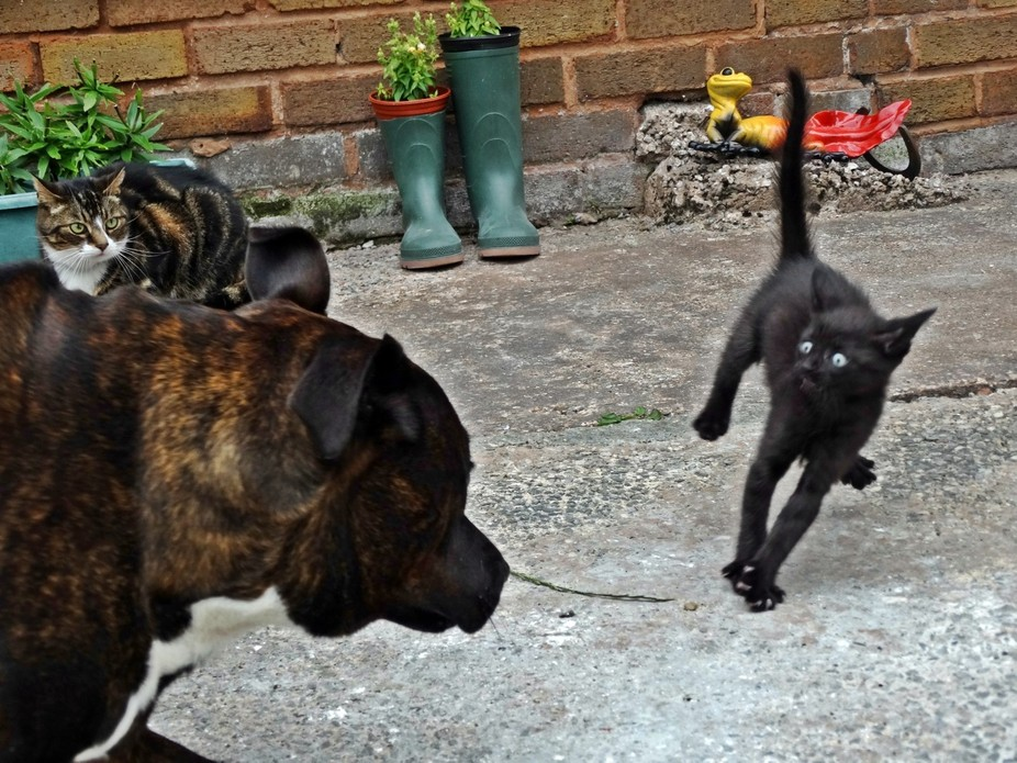 My kitten Indica's reaction to my staffy Bucca sneezing x