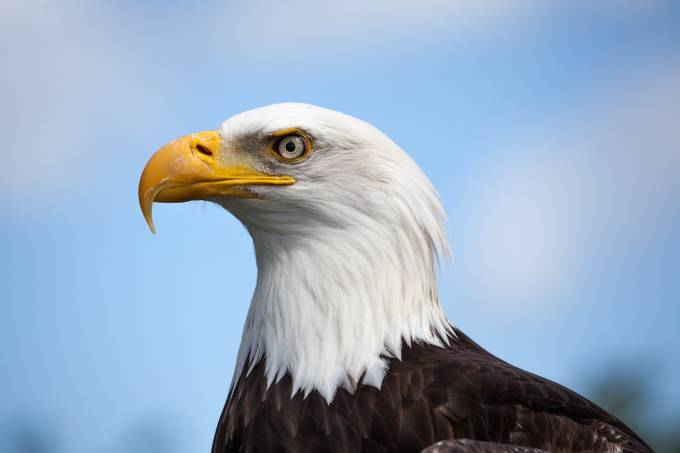 Bald Eagle by philowen - Just Eagles Photo Contest