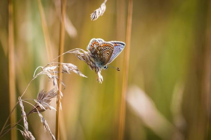 Common Blue by RichardBarnwell - Beautiful Butterflies Photo Contest