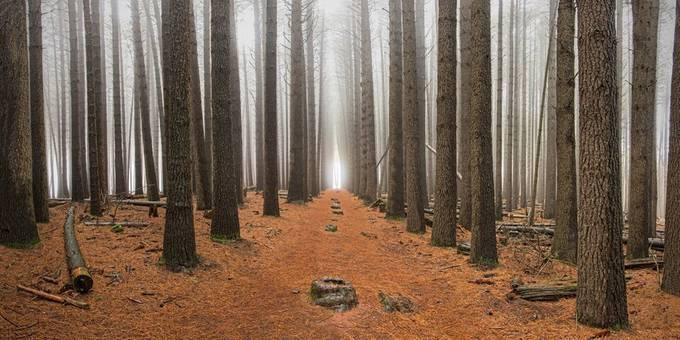 Sugar Pines by Michael_Lucchese - Geometry In Nature Photo Contest