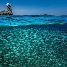A Caribbean Brown Pelican is resting, after many strikes onto a shoal of fish . He is  literally floating on his dinner of Masbangoes. These are ...