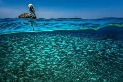The lucky Pelican