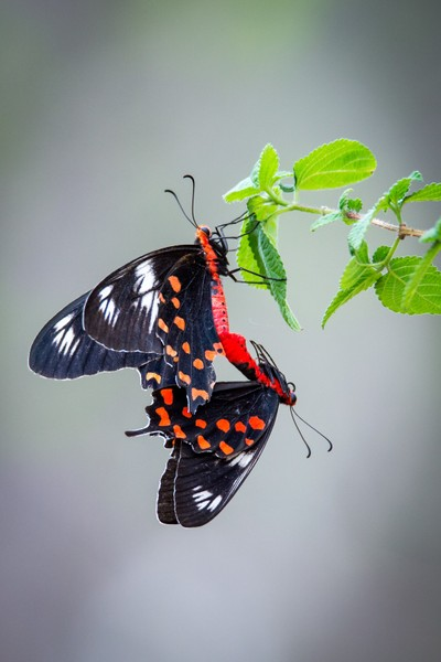 Crimson rose butterflies mating
