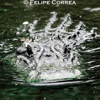 Guardian of the Everglades #ApexPredator #WildFlorida