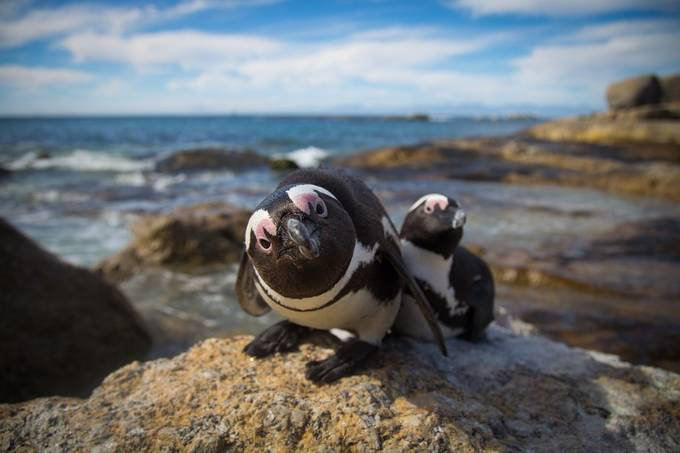Jackasses ( Penguins ) by devonmassyn - Fish Eye And Wide Angle Photo Contest