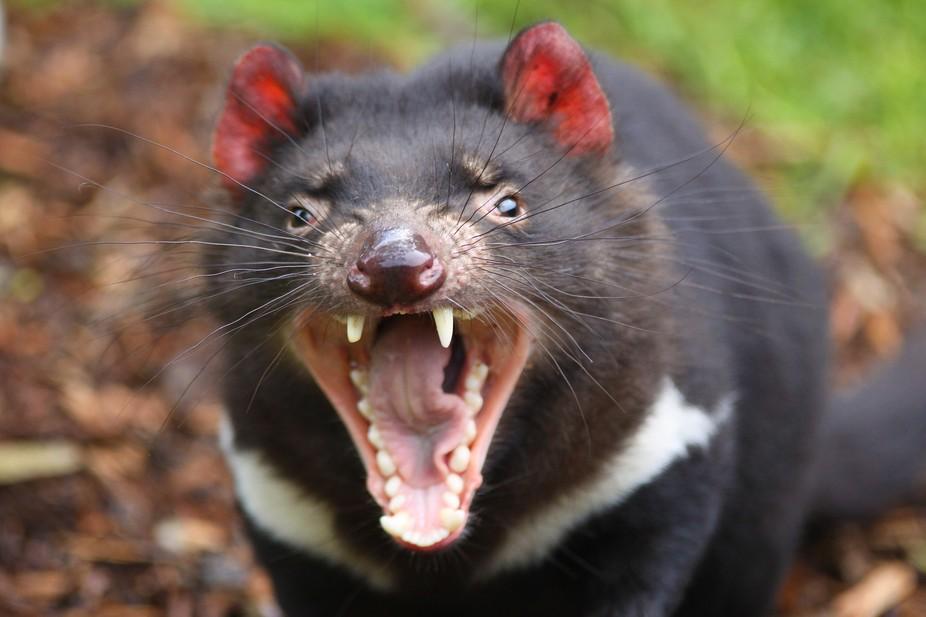 A adult Tasmanian Devil - a threatened species in Australia