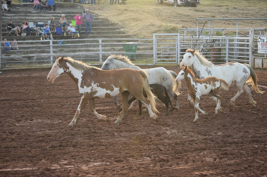 These are 3 generations of Roughstock (bucking horses saddle and bareback) raised by the Big L Ro...
