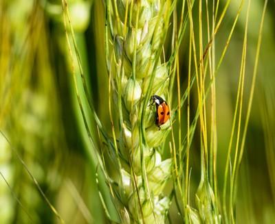 Lady Bug on Barley.