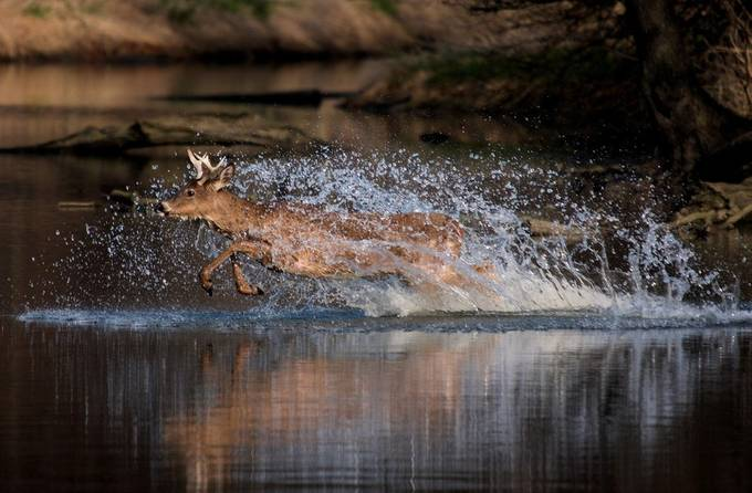 Water Buck by leeannmgoodwin - Show Movement Photo Contest