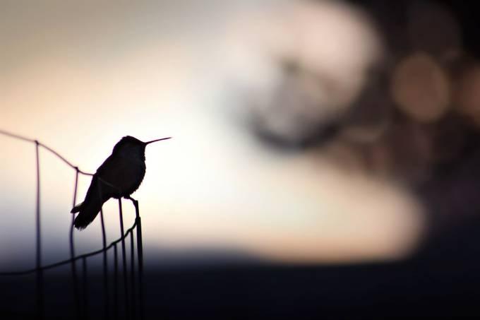 Hummingbird Silhouette  by KatieMcKinneyPhotography - Just Hummingbirds Photo Contest