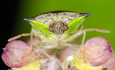 Green Leaf Bug – Close up