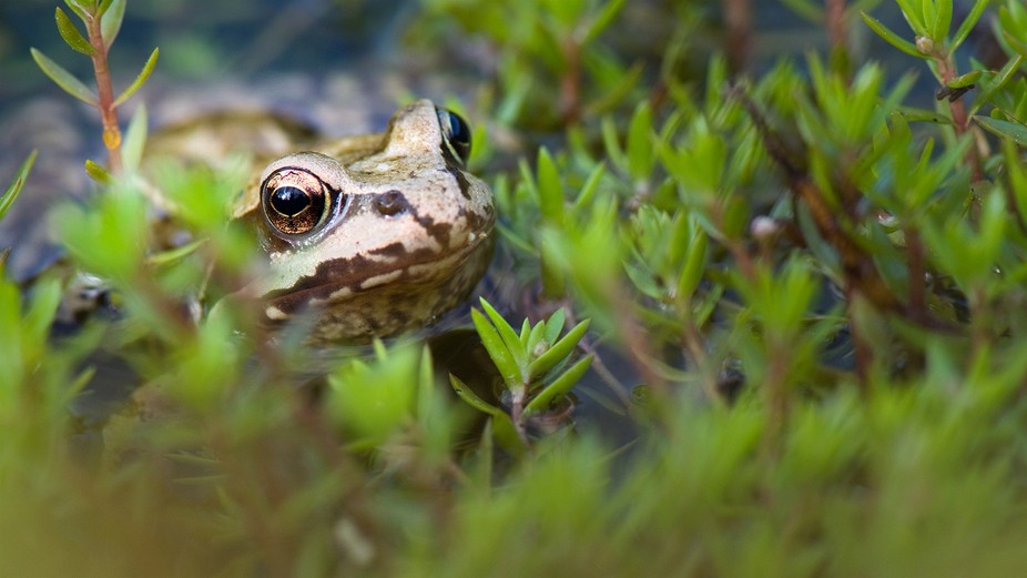 A common frog surfaces among plants