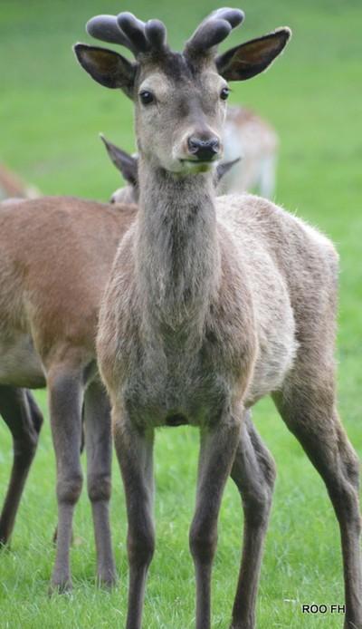Deer in springtime