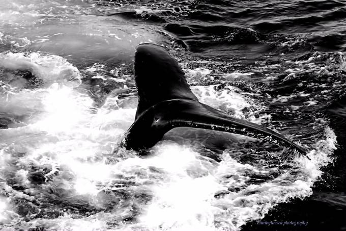Whale of a tail by ladylan - The Water In Black And White Photo Contest