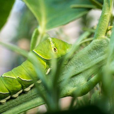 Beautiful markings on a green Caterpillar in our garden in Honolulu.