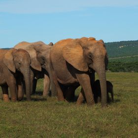 Addo elephants 3
