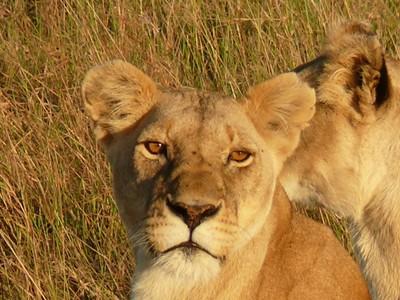 Lioness !