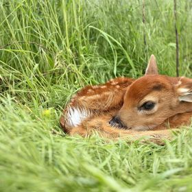 A newborn fawn lies motionless in a bed of soft grass.
