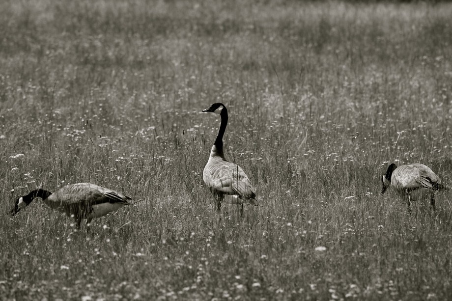 Three geese at Yellowstone National Park