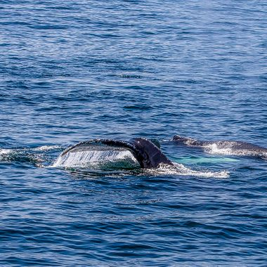 Humpbacks in the Gulf of Maine
