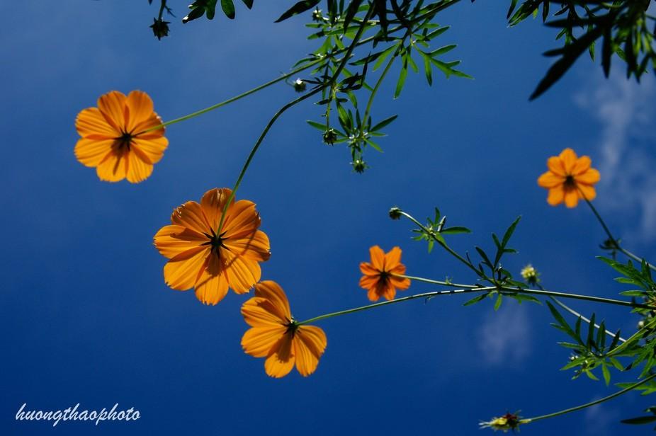 Some orange cosmos in my little garden vs blue sky