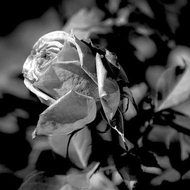 Rose In Black & White (2)