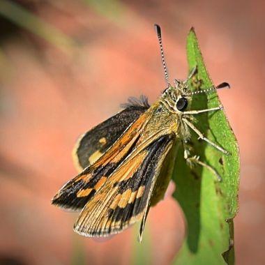 Moth (1)