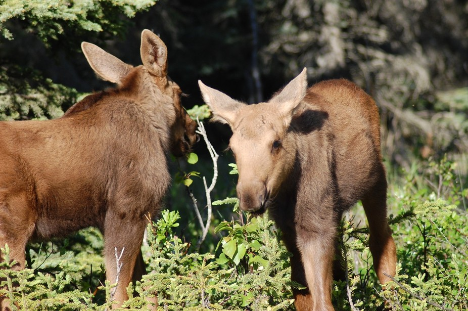 twin baby moose