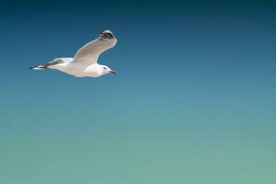 Stockton Beach Seagull