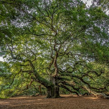 This massive live oak on Johns Island, South Carolina is believed to be over four hundred years old.