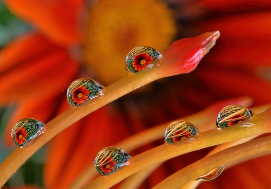 Daisy image refraction on a Pin Cushion Protea flower