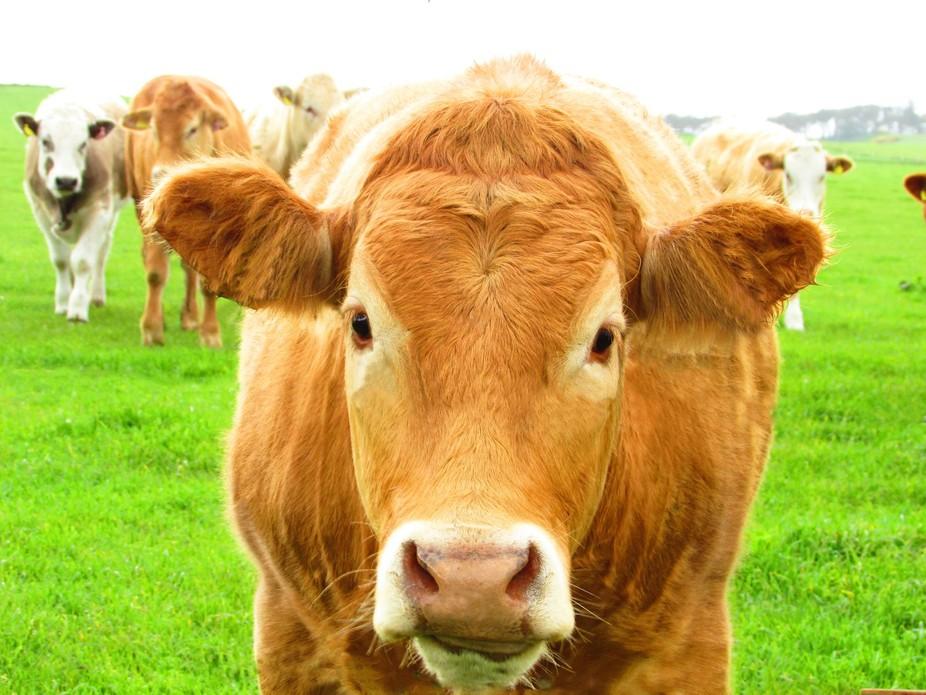 A cheeky cow