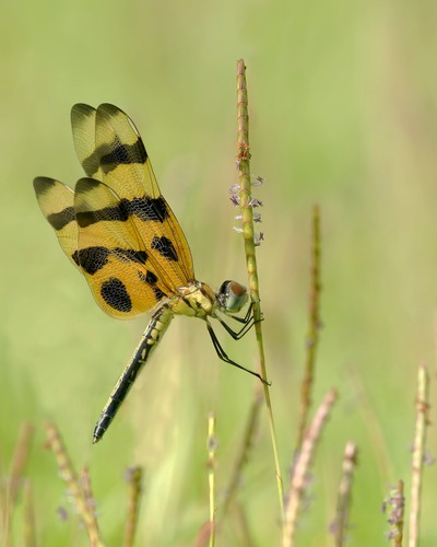 Pendent Dragonfly