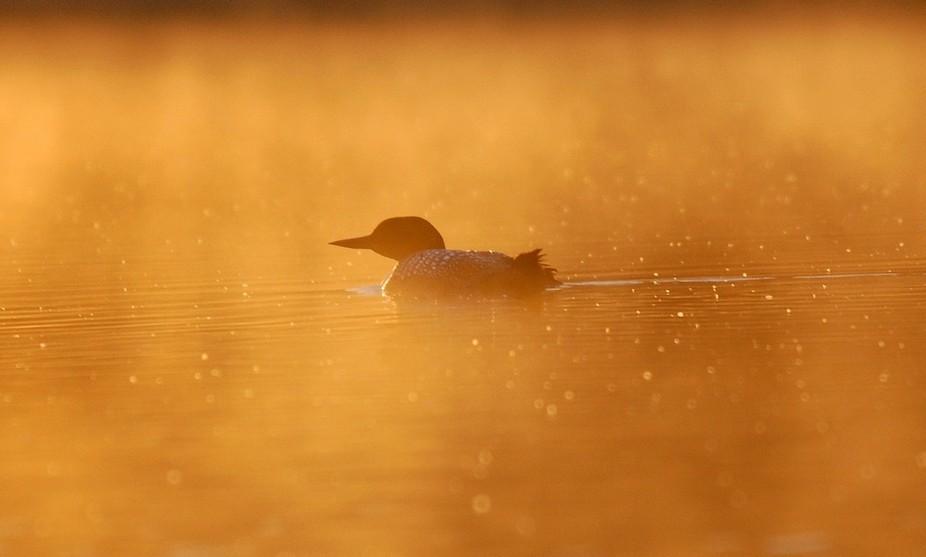 profile of a single loon in sunrise mist