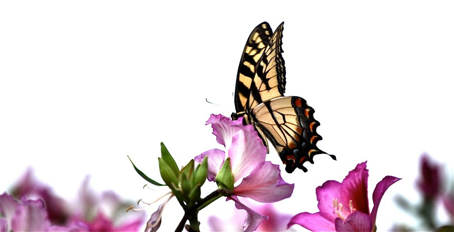 A beautiful butterfly was collecting pollen from a bush that had flowers that looked like Orchids...