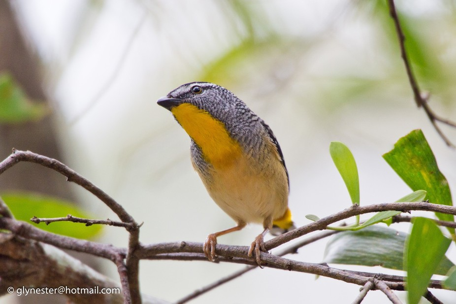Spotted Pardalote - D'Aguilar National Park, Brisbane, Queensland, Australia  A tiny and...