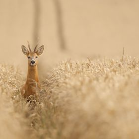 A wild roe buck walking down the farrow in a wheat field
