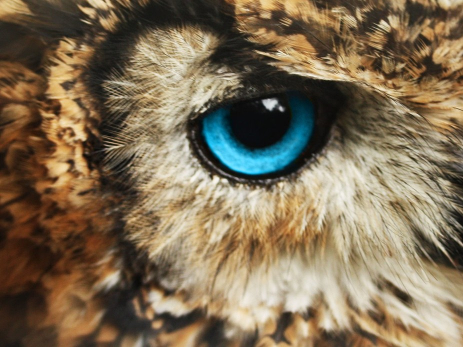 Owl Close up eye - Vie...