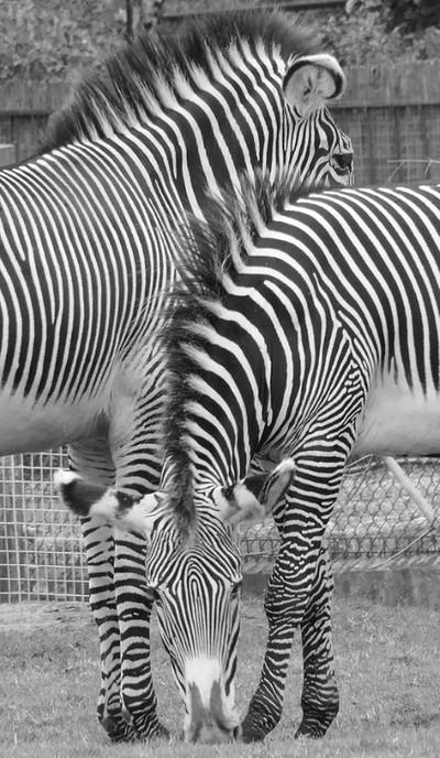 Merging Zebra copy