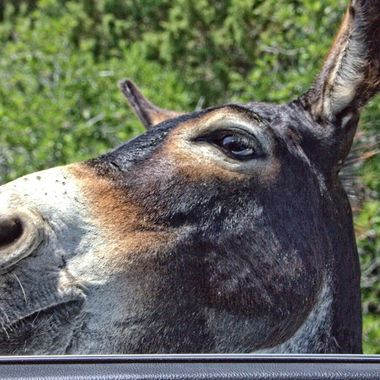 This photo was taken this year (June, 2015), at the Karpaz peninsula. While we were driving towards the tip of the peninsula, this donkey stopped us and put it's head through the window expecting us to give it some food.