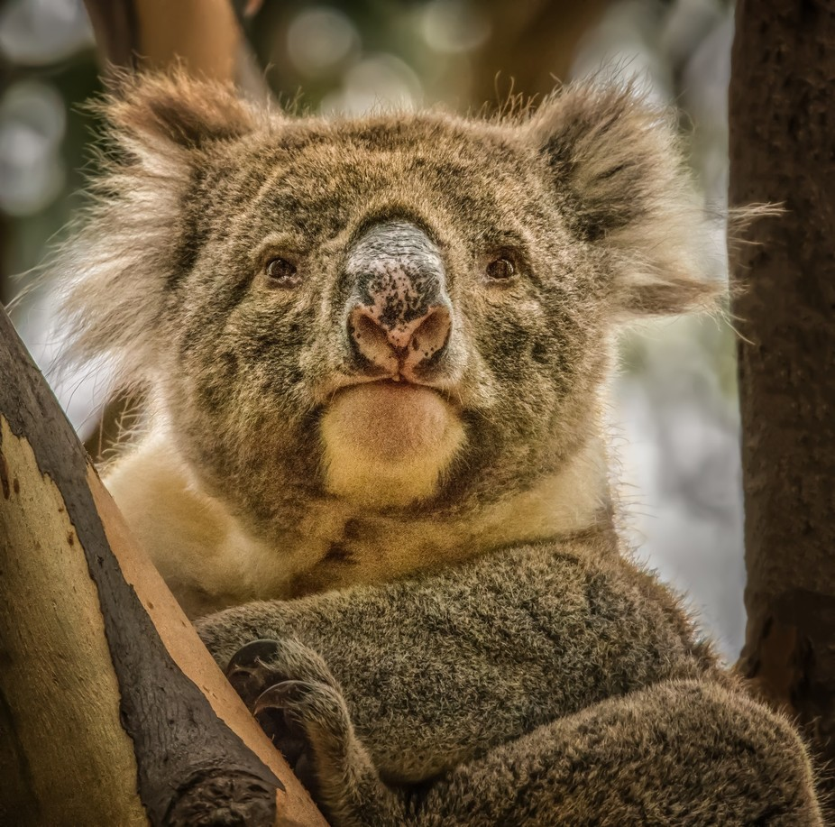 Male koala