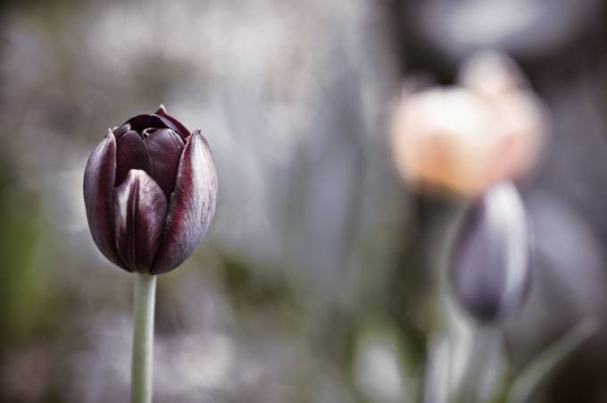 Tulip by JanaJana35 - Rule Of Thirds In Nature Photo Contest