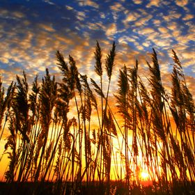 reeds pointing skywards against a patterned sky at sunrise