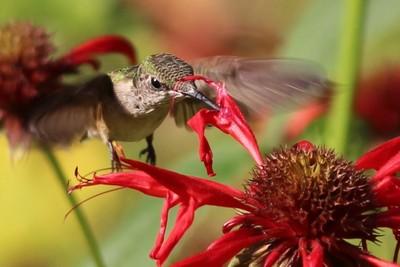 Hummingbird blitz