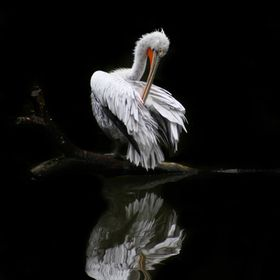 Pelican on black