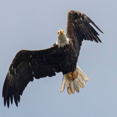 Eagle had been chasing an opsrey....fighting over a fish... I love the look of intensity on his face......