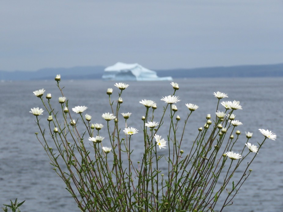 One a hot August day, I came upon a sweet grouping of daisies framing an iceberg in the distance.