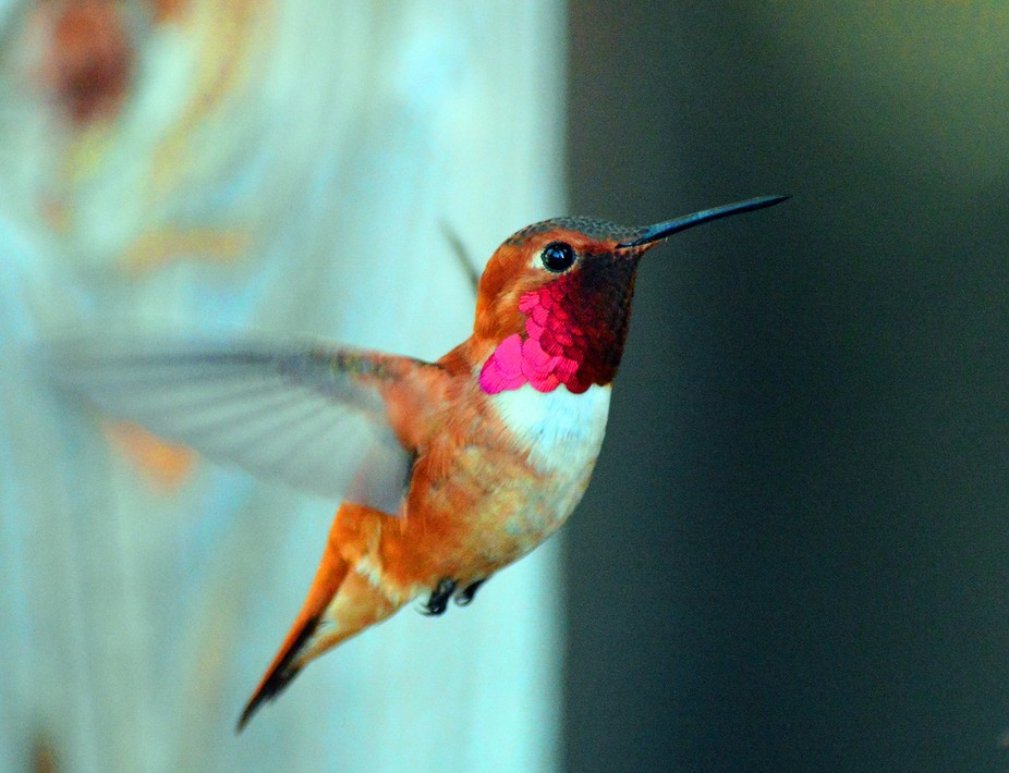 RubyHummingbird