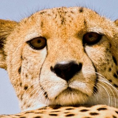 A cheetah resting high in a tree looks down with contempt at being disturbed !